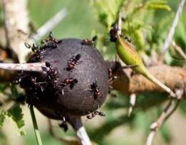 fourmis sur acacia